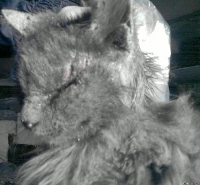 Фото стригущего лишая у кошек в домашних условиях